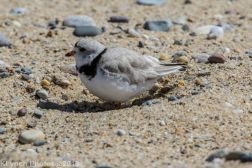 Plovers_14