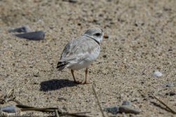 Plovers_18