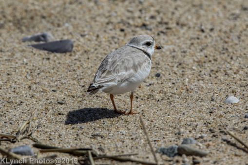 Plovers_19
