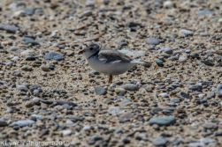 Plovers_2