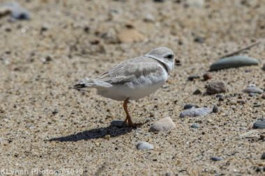 Plovers_20