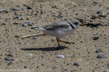 Plovers_21