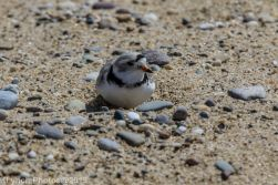 Plovers_24