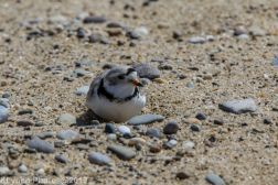 Plovers_25
