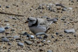 Plovers_26
