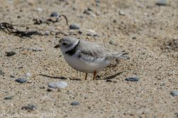 Plovers_28