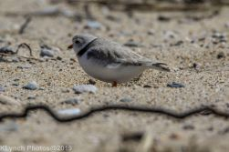 Plovers_29