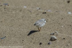 Plovers_3
