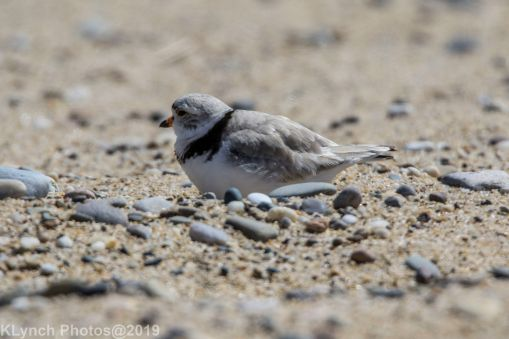 Plovers_30