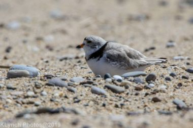 Plovers_31