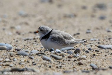 Plovers_32