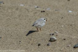 Plovers_4
