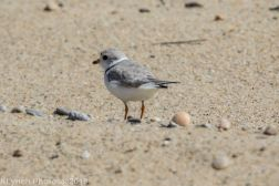 Plovers_5