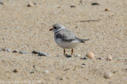 Plovers_6