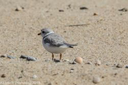Plovers_7