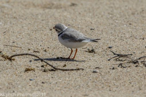 Plovers_8