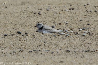 Plovers_9