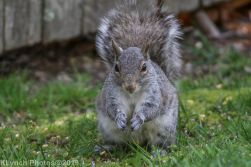 squirrel_7