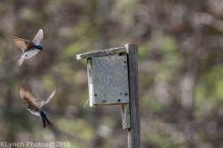 Tree Swallows_1