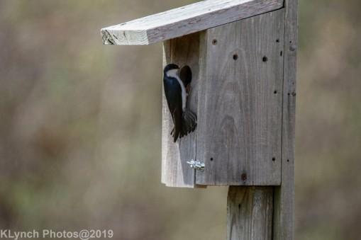Tree Swallows_12