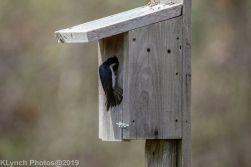 Tree Swallows_13