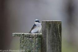 Tree Swallows_14