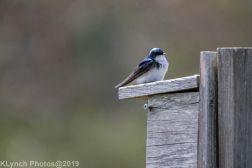 Tree Swallows_15