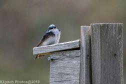 Tree Swallows_16