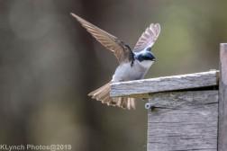 Tree Swallows_17
