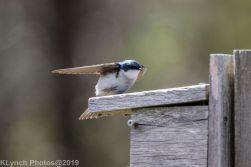 Tree Swallows_18