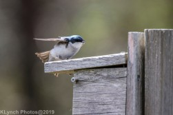 Tree Swallows_19