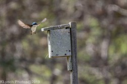 Tree Swallows_2