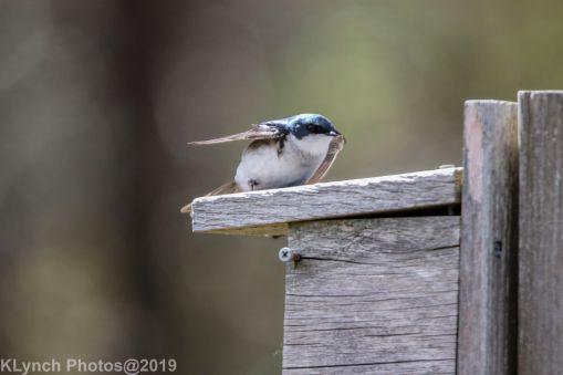 Tree Swallows_20