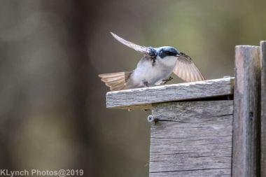 Tree Swallows_21