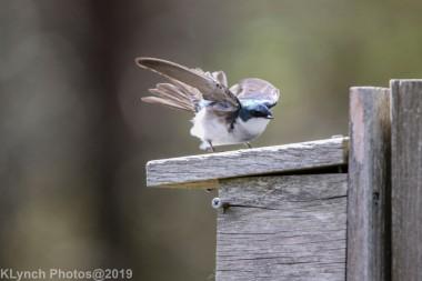 Tree Swallows_22
