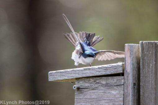 Tree Swallows_23