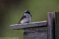 Tree Swallows_24