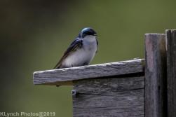 Tree Swallows_25