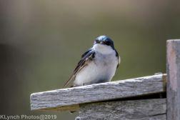 Tree Swallows_27