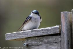 Tree Swallows_28