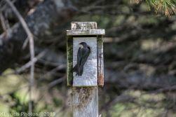 Tree Swallows_29