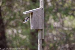 Tree Swallows_3