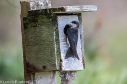 Tree Swallows_30
