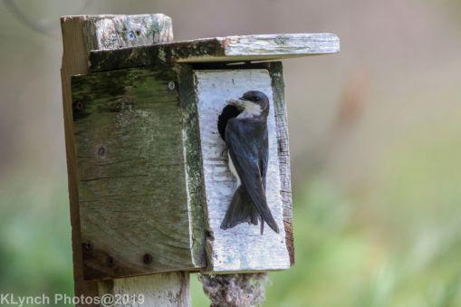 Tree Swallows_31