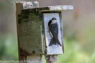 Tree Swallows_32