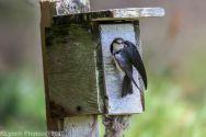 Tree Swallows_33