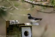 Tree Swallows_34