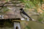 Tree Swallows_35