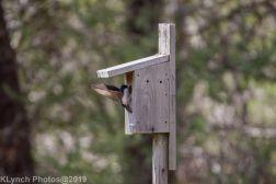 Tree Swallows_5
