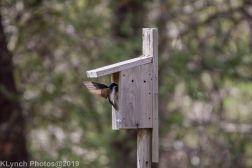 Tree Swallows_6
